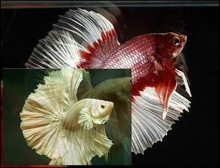 Ikan Hias Air Tawar Cupang