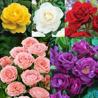 bibit-bunga-mawar-murah.jpg