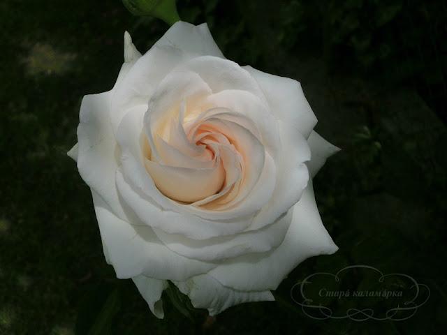 Роза Swan Lake, розы, розарии, сад и розы