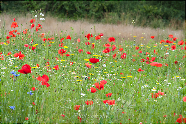 wild flower meadow in woodside lymington