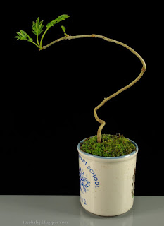 http://fotobabij.blogspot.com/2015/04/bonsai-pobrane-z-natury-jesion.html