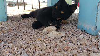 schwarze Babykatze in Kroatien