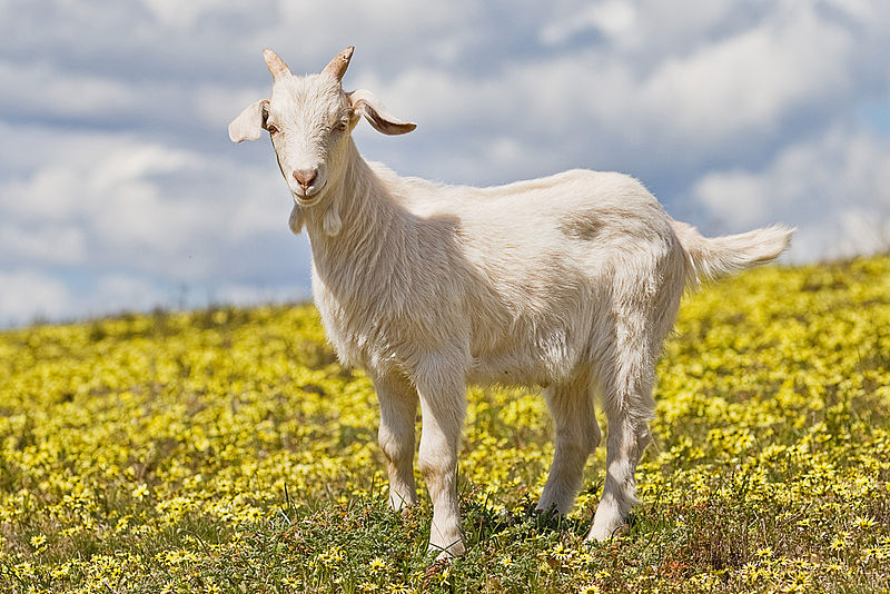 Mammals Animals: Domestic goat kid in capeweed