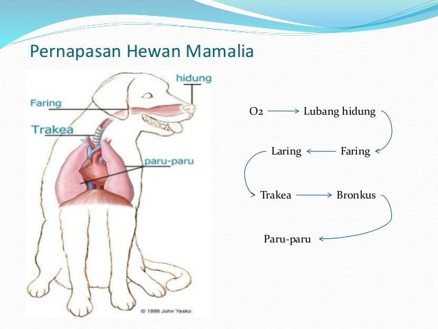 62 Gambar Organ Pernapasan Hewan Mamalia HD