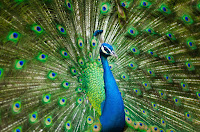 10 Lines on Peacock in Hindi