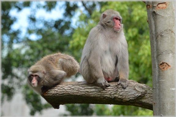 Makak Maymunu - M Hayvan İsimleri