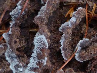 Théléphore terrestre - Thelephora terrestris