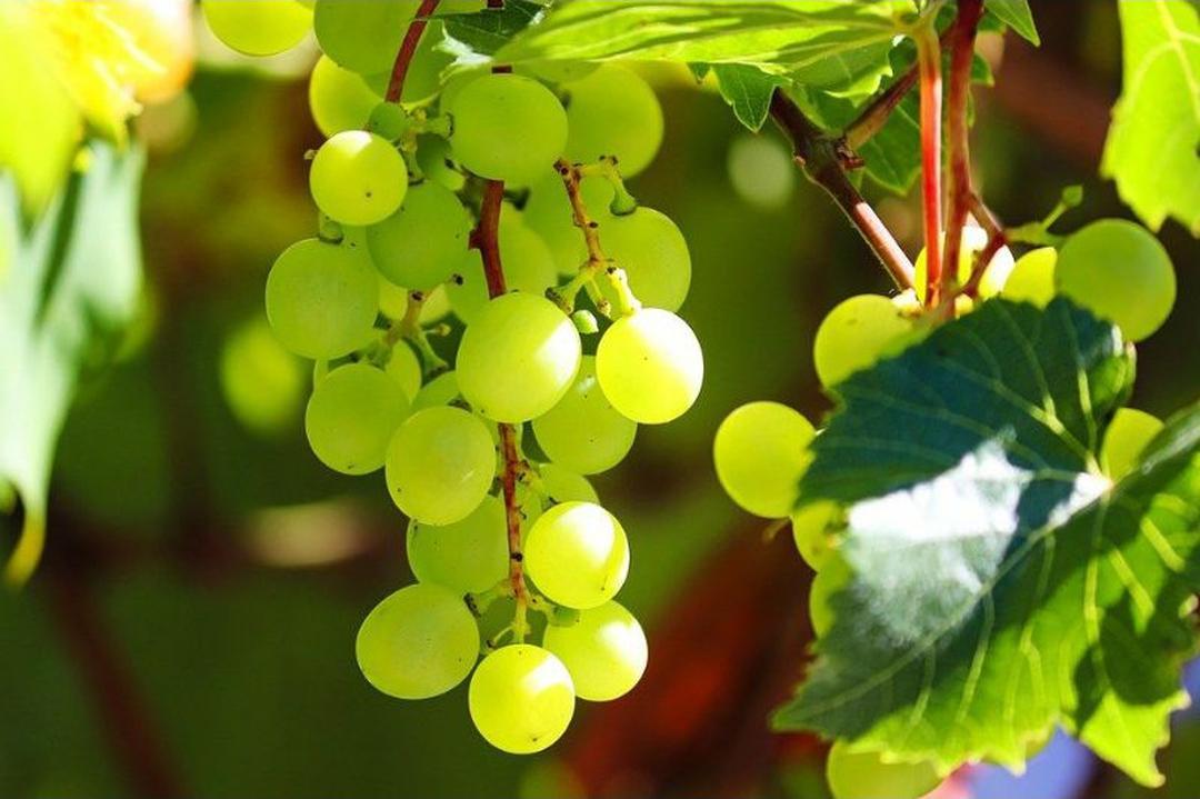 Melayani Eceran! bibit tanaman buah anggur hijau local rimbun murah Kota Malang #bibit buah