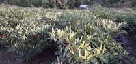 bahan aktif pestisida, insektisida, sivinto, bayer, pestisida, insektisida sistemik, jual pestisida dan pupuk, toko pertanian, online, lmga agro