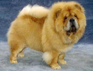 Types of health problems chow chow dog