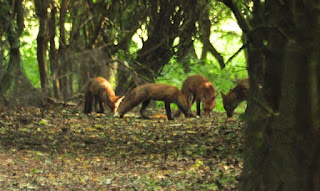 Fox family Overhall Grove NR