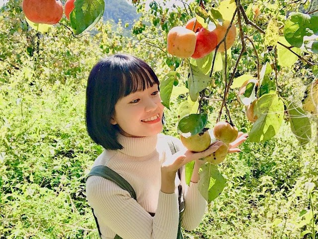 Dalat persimmon Garden in red ripe season attracts young people to check-in