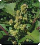 نباتات وعائية بذرية