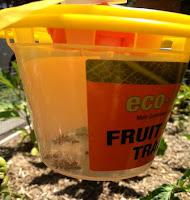 eco%2Bfruit%2Bfly%2Btrap.jpg