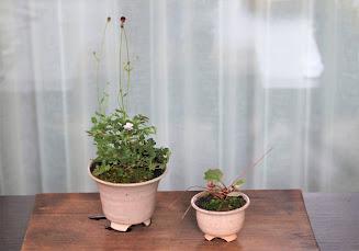 山野草盆栽 生徒さんの作品 ヤクシマワレモコウ 八重ヒメフウロソウ フイリユキノシタ