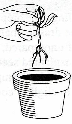 Gambar Teknik mencabut bibit dari pot