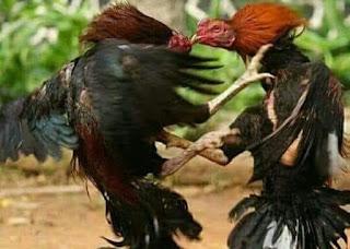 Cara agar ayam bangkok aduan tahan terhadap pukulan