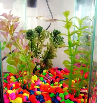 Gambezis in a fish tank