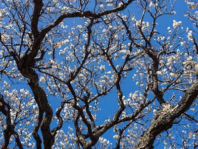 white ume blossoms:Engaku-ji