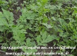 Coriander & Parthenium plant