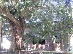 浄光明寺イヌマキ