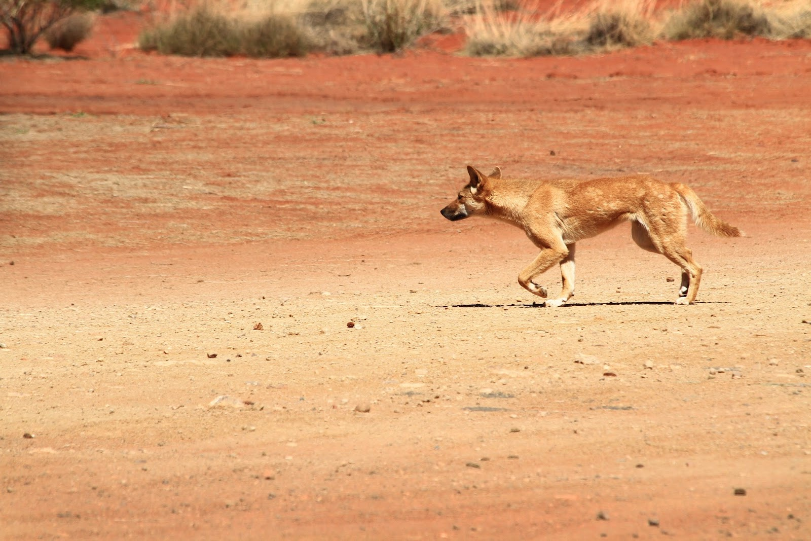 Dingo the Australian wild dog.