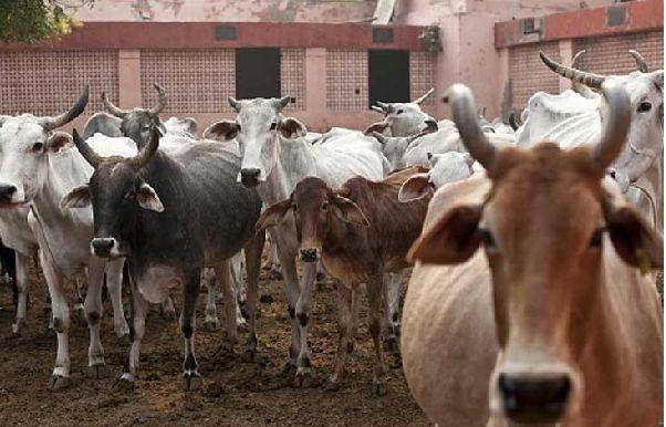 Pemerintah India Larang Muslim Jual Sapi dan Kerbau di Seluruh Negeri