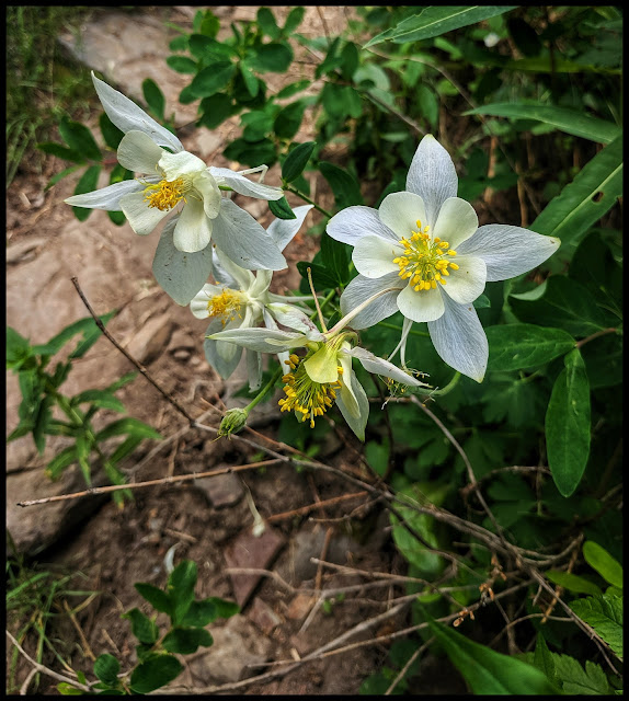 White Columbine Flowers along the Trail