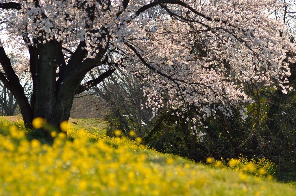 cherry_blossom_river_bank