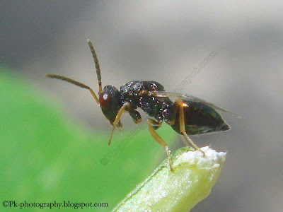 Parasitic Wasp-Pteromalus Puparum