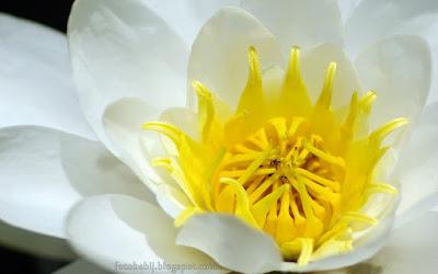 http://fotobabij.blogspot.com/2015/08/lilia-wodna-grzybienie-biae-kwiat.html