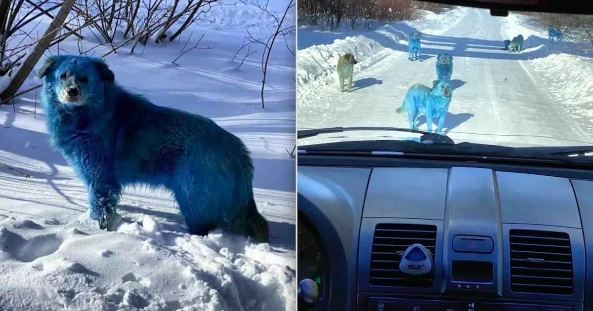 Concern In Russia After Pack Of Blue Dogs Is Spotted Near Abandoned Factory