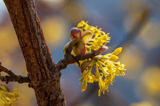 [Cornaceae] Cornus mas – Cornelian Cherry