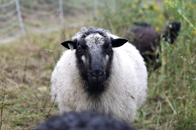 Icelandic x Gotland sheep available for lease or sale