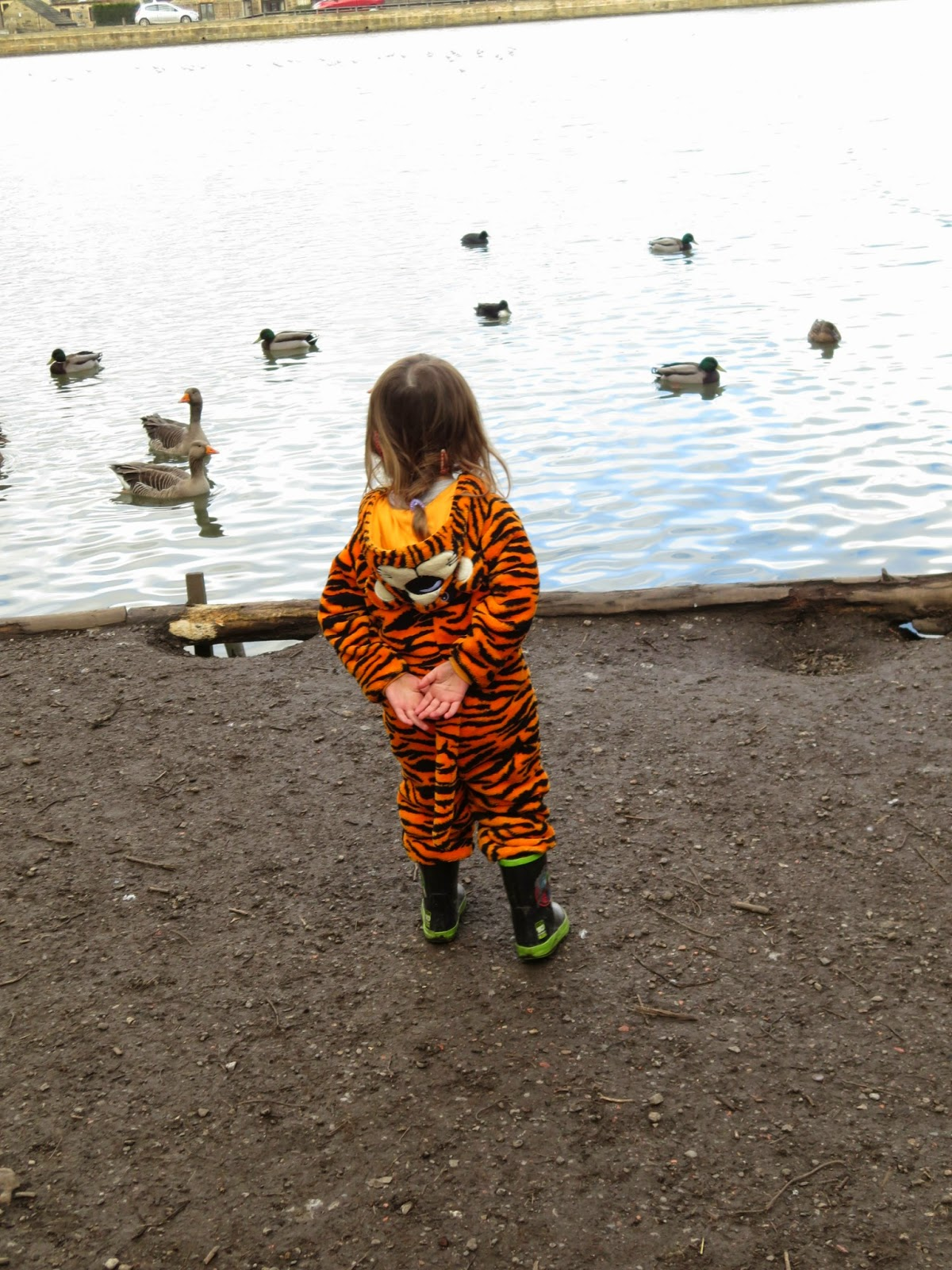 Tiger and the ducks