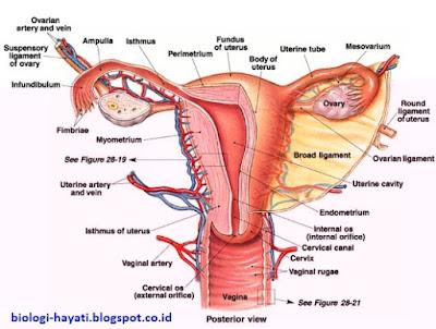 Alat dan Sistem Reproduksi pada Wanita