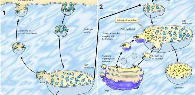 Endositosis pada lisosom