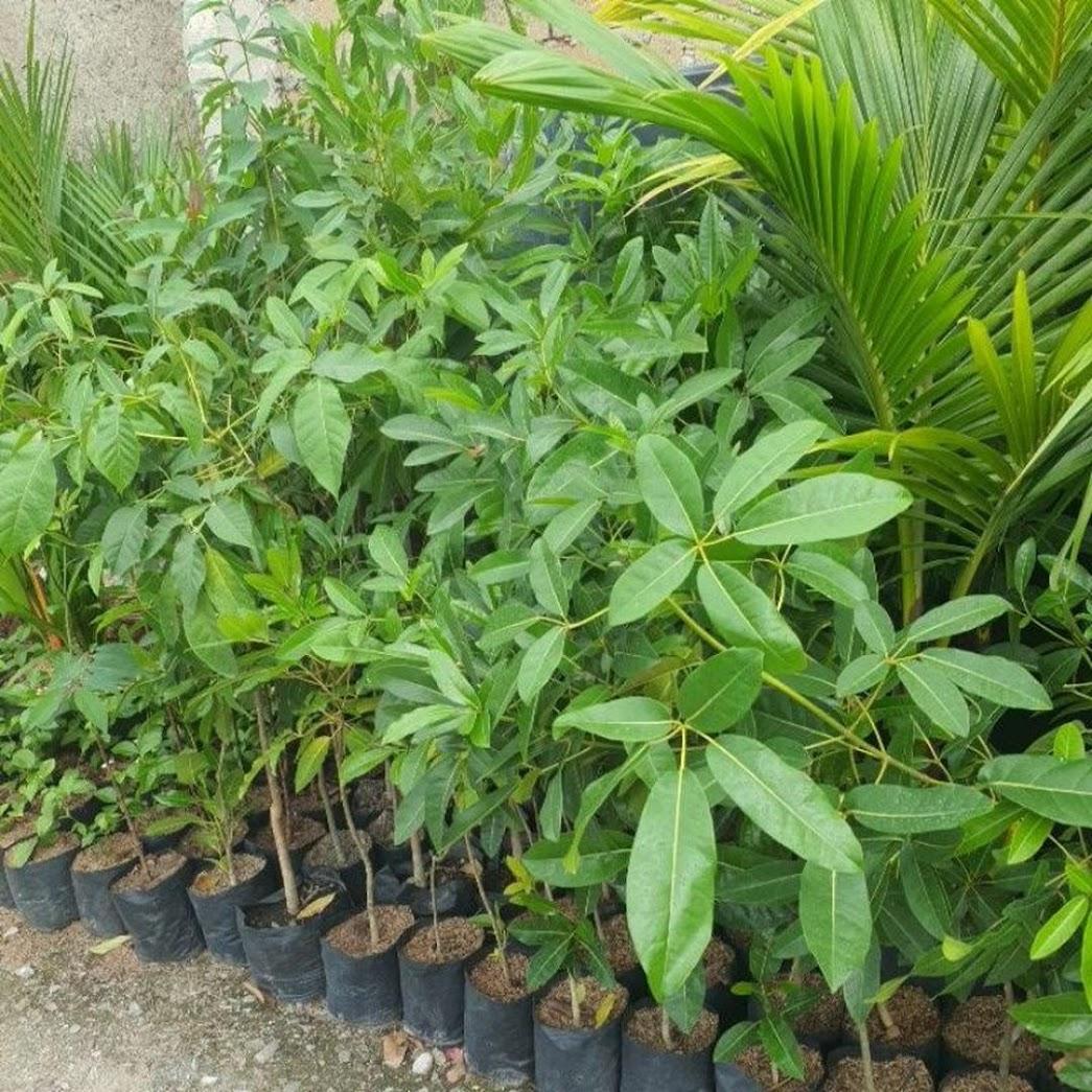 Bibit Pohon Tabebuya Papua