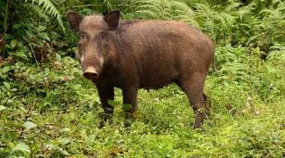 Kemunculan Seekor Babi Hutan Kejutkan Petani di Rembang