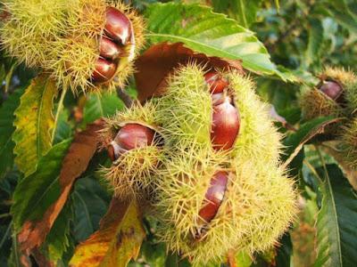 Kacang Kastanye atau dikenal Chesnut