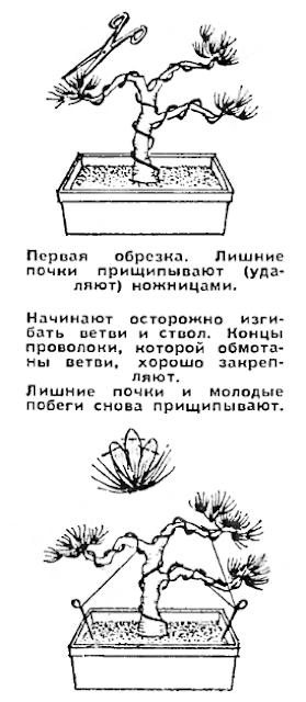 карликовые деревья: обрезка