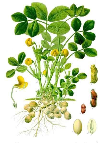 Cây Lạc - Arachis hypogea - Nguyên liệu làm thuốc Nhuận Tràng và Tẩy