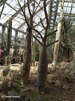 Madagascar palm - Kyoto Botanical Gardens Conservatory, Japan
