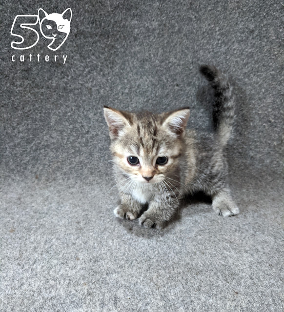 Kitten Munchkin Usia 2 Bulan