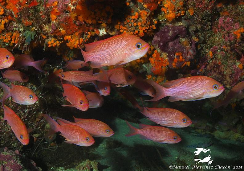 Le barbier rouge est un poisson vivant en grands groupes qui réside.
