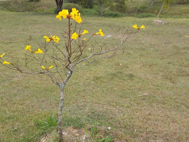 Miniatura de ipê amarelo com flores