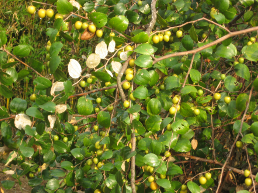 Types of Bidara Fruit
