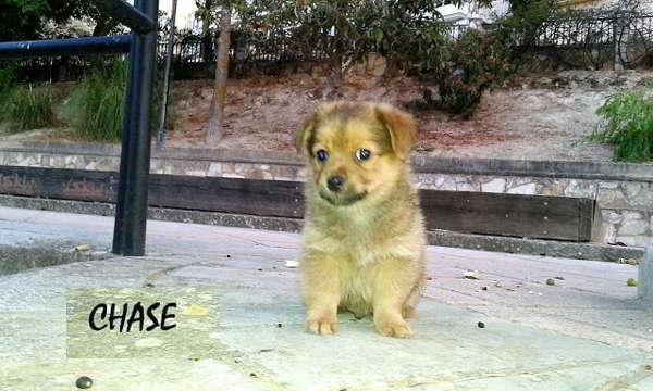 cachorro talla pequeña miniatura 2