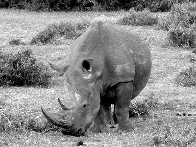 Kruger National Park, South Africa, rhino, rhino poaching