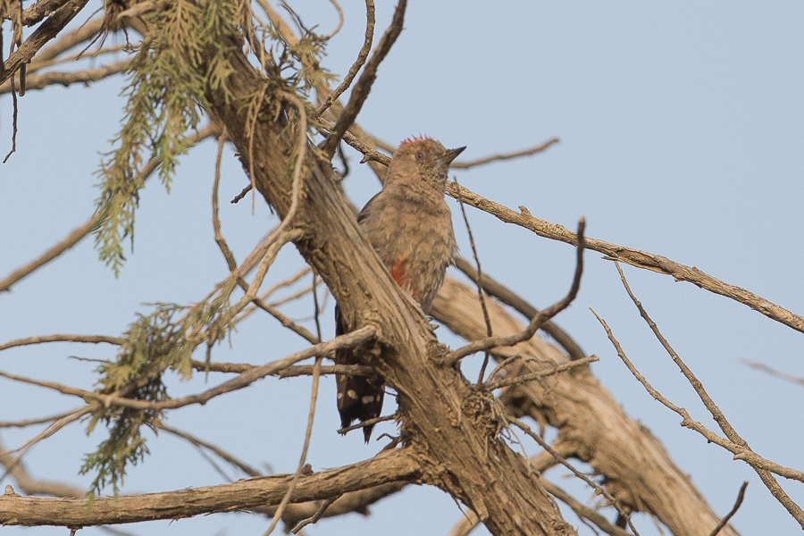 Arabian Woodpecker
